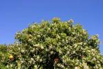 Orangenblüte im Tormostal