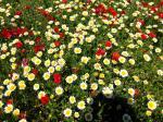 Blühende Wiesen auf Mallorca