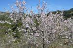 Bei Castell de Castell´s blühen die Mandelbäume weiterhin in voller Pracht